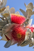 flowering-eucalyptus;flowering-gum-tree;mottlecah;myrtaceae;eucalyptus-macrocarpa;kings-park;perth-park;western-australia