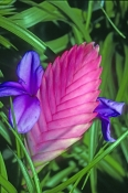 pink-quill-bromeliad-picture;blue-fire-bromeliad-picture;pink-quill;blue-fire;tillandsia-cyanea;bromeliad-of-eduador;south-american-bromeliad;cultivated-bromeliad;pink-bromeliad;steven-david-miller