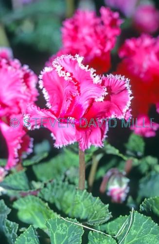 aristo ruffled cyclamen picture;aristo ruffled cyclamen;cyclamen persucum;ruffled cyclamen;cyclamen;cyclamen hybrid;cultivated cyclamen;pink flower;ruffled pink flower;pretty pink flower;cyclamen cultivar