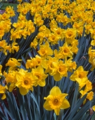 king-alfred-trumpet-daffodil-picture;king-alfred-trumpet-daffodil;trumpet-daffodil;daffodil;yellow-daffodil;narcissus-family;bed-of-daffodils;daffodil-festival;bed-of-yellow-flowers;steven-david-miller
