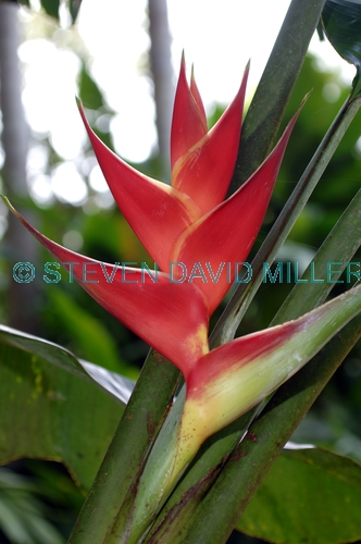 heliconia;cairns botanical gardens;heliconia cultivar;genus heliconia