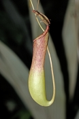 nepenthes-pitcher-plant-picture;nepenthes-pitcher-plant;nepenthes;pitcher-plant;nepenthes-rafflesian