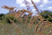sea-oat-picture;sea-oat;sea-oats;dune-stabilizer-plant;foreshore-stabilizer-plant;delnor-wiggins-state-park;foreshore-plant;gulf-of-mexico-foreshore