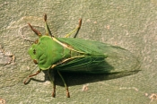 AUSTRALIA;BUGS;CICADAS;GREEN;HEADS;HEMIPTERA;INSECTS;INVERTEBRATES;WINGS;CYCLOCHILA-AUSTRALASIAE