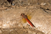 wandering-percher-dragonfly-picture;wandering-percher-dragonfly;wandering-percher-dragon;dragonfly;dragon-fly;red-dragonfly;australian-dragonfly;libellulidae;diplacodes;steven-david-miller;north-queensland;cobbold-gorge;robin-hood-station;natural-wanders