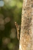 Burying Mantis