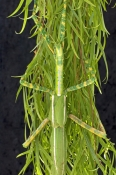female-goliath-stick-insect-picture;female-goliath-stick-insect;goliath-stick-insect;australian-stic