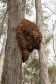 arboreal-termite-nest;termite-nest-in-tree;termite-mound-in-tree