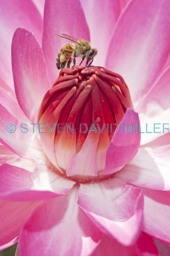 honey bee picture;honey bee;honey bee on flower;honey bee on lotus lily;apis mellifera;honey bee gathering pollen;honey bee with pollen;lotus lily with honey bee;bee;lotus lily;naples botanical gardens;southwest florida;steven david miller