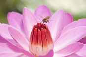 honey-bee-picture;honey-bee;honey-bee-on-flower;honey-bee-on-lotus-lily;apis-mellifera;honey-bee-gat
