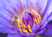 honey-bee-picture;honey-bee;honey-bee-on-flower;honey-bee-on-lotus-lily;apis-mellifera;honey-bee-gathering-pollen;honey-bee-with-pollen;lotus-lily-with-honey-bee;lotus-lily;purple-lotus-lily;purple-flower;naples-botanical-gardens;southwest-florida;steven-david-miller