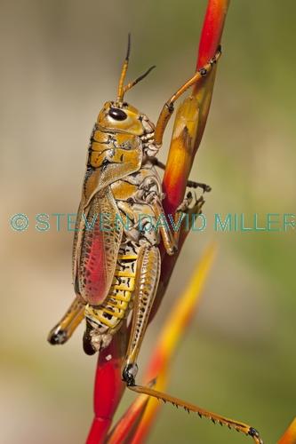 lubber grasshopper picture;lubber grasshopper;southern lubber grasshopper;eastern lubber grasshopper;romalea microptera;adult lubber grasshopper;grasshopper;adult phase of lubber grasshopper;southwest florida grasshopper;florida grasshopper