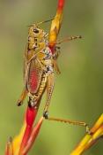 lubber-grasshopper-picture;lubber-grasshopper;southern-lubber-grasshopper;eastern-lubber-grasshopper;romalea-microptera;adult-lubber-grasshopper;grasshopper;adult-phase-of-lubber-grasshopper;southwest-florida-grasshopper;florida-grasshopper
