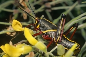 GRASSHOPPERS;immature;INSECTS;INVERTEBRATES;ORTHOPTERA;ROMALEA-GUTTATA;SHORT-HORNED-GRASSHOPPERS;north-america;subadult;USA;ROMALEA-MICROPTERA