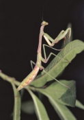 ARTHROPODS;INSECTS;INVERTEBRATES;MANTIDS;Mantodea;PORTRAITS;USA;european-praying-mantis;mantis-religiosa