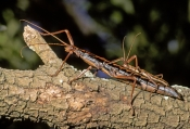 giant-stick-insect;stick-insect;sticks-insects-mating;insects-mating;megaphasma-dentricus;florida-stick-insect