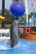 pet-porpoise-pool-picture;pet-porpoise-pool;dolphin-marine-magic;coffs-harbour;new-south-wales;common-bottlenose-dolphin-performing;tursiops-truncates;captive-dolphin;rescued-dolphin;dolphin-in-captivity;steven-david-miller;natural-wanders