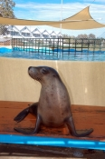 pet-porpoise-pool-picture;pet-porpoise-pool;dolphin-marine-magic;coffs-harbour;new-south-wales;australian-fur-seal-performing;arctocephalus-pusillus-doriferus;captive-fur-seal;rescued-fur-seal;fur-seal-in-captivity;steven-david-miller;natural-wanders