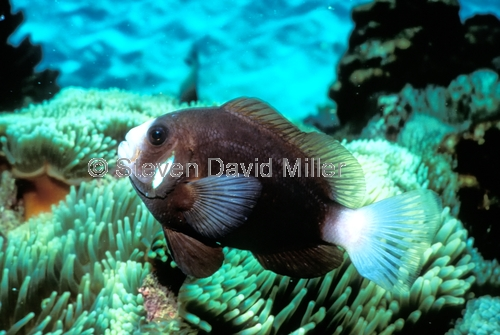 mccullogh's anemonefish;mcculloghs anemonefish;amphiprion mccullochi;anemonefish;lord howe anemonefish;lord howe island anemonefish;lord howe island;lord howe island underwater;underwater lord howe island;lord howe island marine park;ned's beach;neds beach