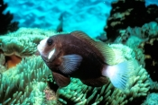 McCullogh's Anemonefish