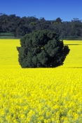 canola-field;canola;canola-picture;canola-crop;southern-new-south-wales;parkes;newell-highway;newell-hwy
