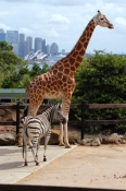 taronga-zoo;taronga;sydney-zoo;sydney;sydney-tourist-attractions;steven-david-miller;natural-wanders