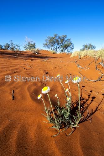 simpson desert;central australia;northern territory;desert;australian desert;paper daisy;outback;red centre;red center;steven david miller;natural wanders