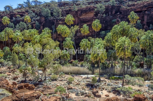 finke gorge national park;palm valley;northern territory national park;northern territory;alice springs;steven david miller;natural wanders;red cabbage palm;livistona mariae mariae