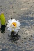 Water Lilies or Lotus Flowers
