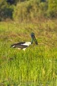jabiru;black-necked-stork;cooper-creek;wetland;arnhem-land;mount-borradaile;davidsons-arnhemland-safari