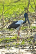jabiru;black-necked-stork;cooper-creek;wetland;arnhem-land;mount-borradaile;northern-territory-wetland;northern-territory;davidsons-arnhemland-safari