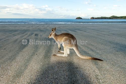 casuarina bay;cape hillsborough national park;wallaby on the beach;wallaby at cape hillsborough national park;kangaroo on the beach;kangaroo at cape hillsborough national park