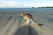 casuarina-bay;cape-hillsborough-national-park;wallaby-on-the-beach;wallaby-at-cape-hillsborough-nati