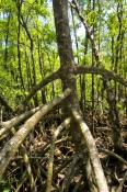 red-mangrove-tree;spider-mangrove-tree;mangrove-tree-roots;mangrove-forest;cape-tribulation;daintree-national-park;wet-tropics;wet-tropics-world-heritage-area;world-heritage-area;queensland-national-park;australian-national-park;australian-world-heritage-area
