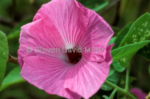 native rosella;native hibiscus;native rosella pink form;pink form native rosella;hibiscus heterophyllus;family malvaceae;carnarvon gorge;carnarvon national park;queensland national park;australian national park;wild hibiscus