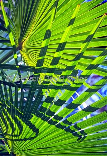 palm frond picture;palm frond;palm leaf;palm tree;carnarvon creek;carnarvon national park;carnarvon gorge