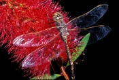 dragonfly;bottlebrush;red-bottlebrush;dragonfly-on-bottlebrush;carnarvon-national-park;queensland-national-park;fauna-of-carnarvon-national-park;flora-of-carnarvon-national-park