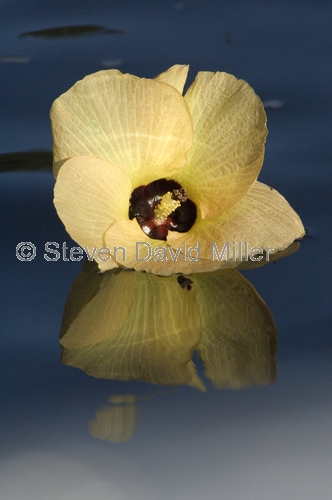 native hibiscus;native rosella;flower floating on water;daintree;daintree river;north queensland;far north queensland