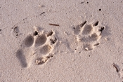 fraser-island;fraser-island-beach;dingo-footprints-on-beach;fraser-island-foreshore;dog-prints;dingo-prints;fraser-island-national-park;queensland-national-park;great-sandy-national-park;australian-national-park
