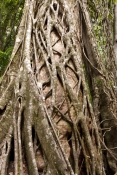 central-station;pile-valley;strangler-fig-tree;strangler-fig;ficus-destruens;fraser-island-rainforest;fraser-island;sand-island;fraser-island-national-park;great-sandy-national-park;queensland-national-park;australian-national-park;family-moraceae
