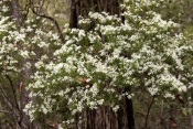 wedding-bush;ricinocarpos-pinifolius;fraser-island;sand-island;fraser-island-national-park;great-sandy-national-park;queensland-national-park;australian-national-park;family-euphorbiaceae