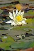 montville;lilyponds;lilyponds-wetland;montville-wetland;water-lilies;water-lily;waterlily;family-nymphaeceae