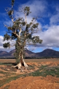 flinders-ranges;cazneauxs-tree;cazneauxs-tree;south-australian-national-park;australian-national-park;outback;south-australia-outback;flinders-ranges-national-park;wilpena-pound
