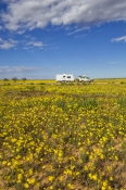 strzelecki-desert;strzelecki-track;expanse-of-yellow-daisies;desert-with-yellow-daisies;field-of-yellow-daisies;Asteraceae;outback-australia;innamincka