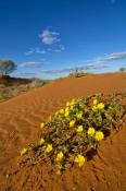 innamincka-regional-reserve;innamincka;strzelecki-track;strzelecki-desert;south-australia-outback-track;cordillo-downs-station