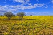 strzelecki-desert;strzelecki-track;expanse-of-yellow-daisies;desert-with-yellow-daisies;field-of-yellow-daisies;family-asteraceae;outback-australia;innamincka;innamincka-regional-reserve