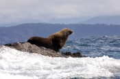 Pinnipeds (Seals, Sea Lions, Walruses)