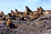 australian-fur-seal;fur-seal;seal;wild-seal;arctocephalus-pusillus-doriferus;south-bruny-island;tasmania;bruny-island-cruises;bruny-island