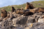 Pinnipeds (Seals, Sea Lions)