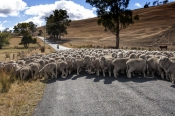 herding-sheep;rounding-up-sheep;driving-sheep;flock-of-sheep;tasmanian-sheep;group-of-sheep